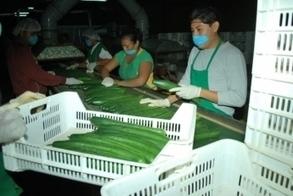 Apuntalan el cultivo de pepino y chile habanero - Hidroponía Maya | Cultivos Hidropónicos | Scoop.it