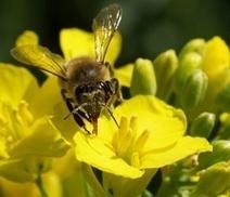 Feldstudie zur Bienensicherheit von Neonikotinoiden | Agrarforschung | Scoop.it
