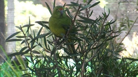 Third time may prove lucky for Western Australia's rarest bird | All Things Zygodactyl | Scoop.it