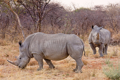 Rhino horn madness: over two rhinos killed a day in South Africa | Kruger & African Wildlife | Scoop.it