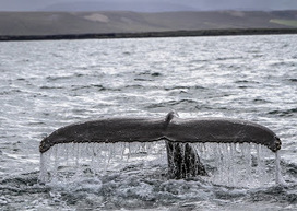 #Sanctuary in North #Iceland Could End #Whaling | Rescue our Ocean's & it's species from Man's Pollution! | Scoop.it