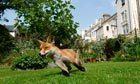Park life: the wildlife of Britain's cities | Urban Life | Scoop.it