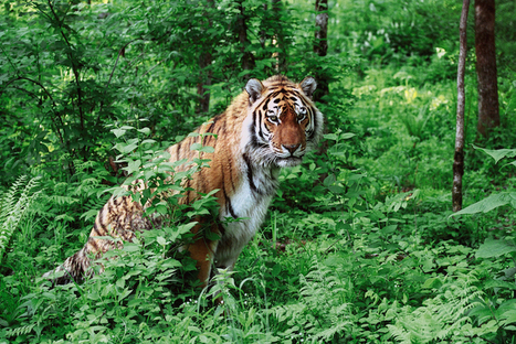 A Hedge Fund Manager Helped Save Siberian Tigers | Conservation Success | Scoop.it