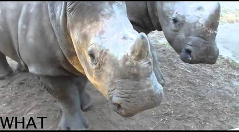 Rhino Noises | Help save our Rhino | Saving All Animals | Scoop.it