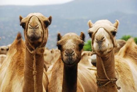 Acertijos matemáticos: el problema de los 35 camellos de Malba Tahan | CURIOSIDADES TECNOLOGICAS | Scoop.it