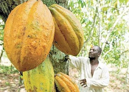 Uganda sees its 2013/2014 cocoa output rising 26 percentPublish Date: Nov 20 ... - New Vision | Fairly Traded News | Scoop.it