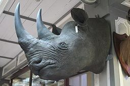 Horn in sixty (ish) seconds: Gang robs museum rhino heads - The Irish Sun | Kruger & African Wildlife | Scoop.it