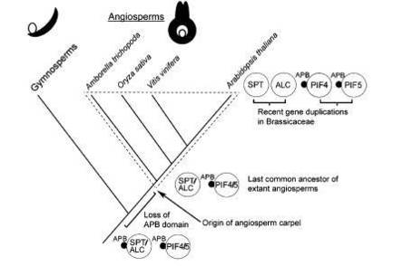 A pair of Plant Cell papers that illuminate phytochrome structure carpel evolution | GARNet Plant Science Community | Scoop.it