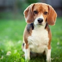 Dogs Absorb Lawn Chemicals : DNews | veterinarian | Scoop.it