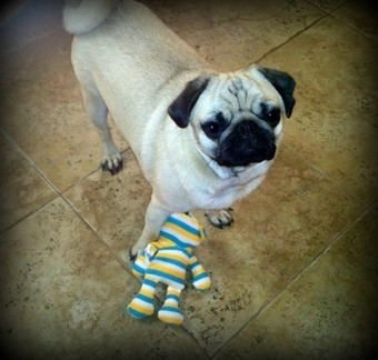 Life is art ... Art is Life: Crochet Pug ~ A Tiny Archie! | Knitting, Crochet and Other Fiber Art | Scoop.it