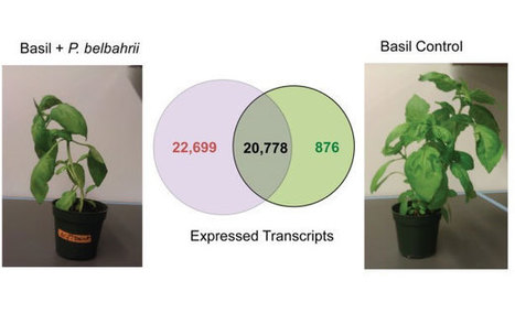 A pipeline for rapid gene discovery and expression analysis of a plant host and its obligate parasite | RNA-Seq Blog | Bioinformatics Software: Sequence Analysis | Scoop.it