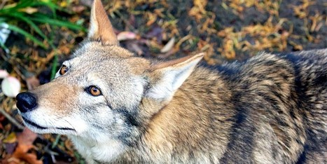 BREAKING: Scientists Warn Federal Agency's Plan Would 'Result in Extinction of Red Wolves in the Wild' | Farming, Forests, Water, Fishing and Environment | Scoop.it