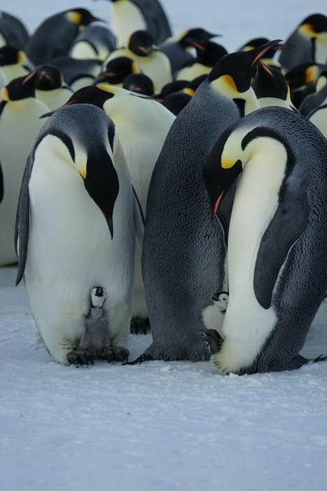 En Juillet fait ce qu'il te plait mais prend une petite laine quand même ! #DDU #TAAF #Antarctique #TerreAdélie | Arctique et Antarctique | Scoop.it