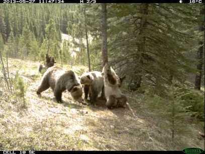 Wildlife cam captures bear dance party – Outdoor Canada | Wind turbines | Scoop.it