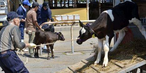 Le Japon va racheter et brûler de la viande de bœuf radioactive   LeMonde.fr   Japon : séisme, tsunami & conséquences   Scoop.it