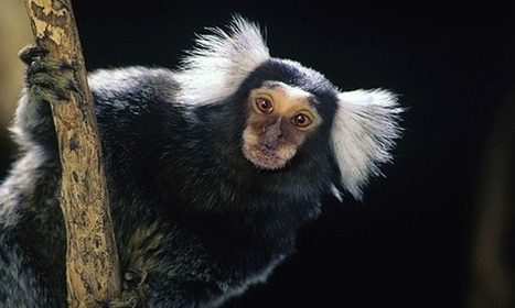 The ethics of animal tests: inside the lab where marmosets are given Parkinson's | Bioethics | Scoop.it