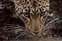Over 75 percent of large predators declining | Comment va le monde et mère nature ? | Scoop.it