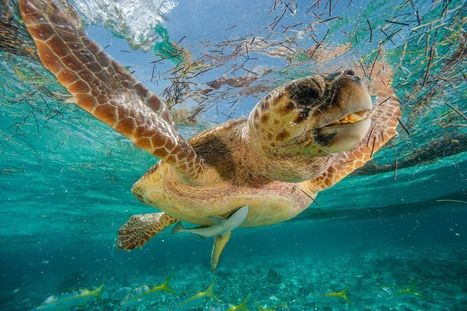 How Do Sea Turtles Find the Exact Beach Where They Were Born? | Naturalist Education | Scoop.it
