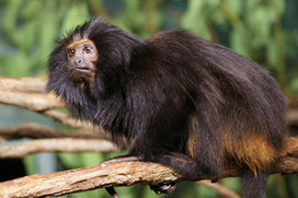Brazil Plans to Clone Its Endangered Species | Extinction Countdown, Scientific American Blog Network | Nature's Bounty | Scoop.it