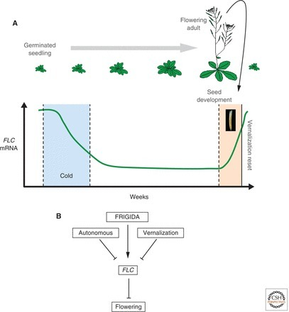 Epigenetic Regulation in Plant Responses to the Environment (Baulcombe and Dean)   my universe   Scoop.it