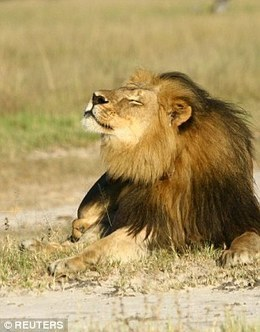 Barmiad: Walter Palmed showed me picture of dead Cecil the lion | Nature Animals humankind | Scoop.it