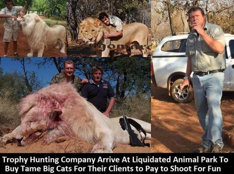 Animal Park Lions in Terrible Trouble | Trophy Hunting: It's Impact on Wildlife and People | Scoop.it