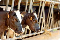 Livre - Viandes : la barbarie des élevages américains dénoncée | Nature Animals humankind | Scoop.it
