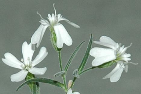 Flor extinta revive después de 32 mil años - Noticias de ecologia y medio ambiente | EcoAgroPaisaje | Scoop.it