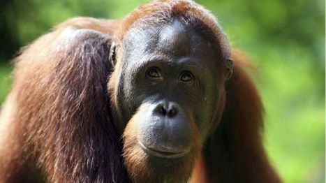 New data shows 'staggering' extent of great ape trade - BBC News | Farming, Forests, Water, Fishing and Environment | Scoop.it