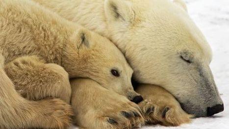 Kuujjuarapik, le village de l'#Arctique où dorment désormais les #ours  - RTBF Societe | Hurtigruten Arctique Antarctique | Scoop.it