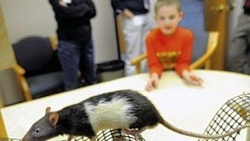 Rats are bringing out best in kids with autism   Pittsburgh Post-Gazette   animals and prosocial capacities   Scoop.it