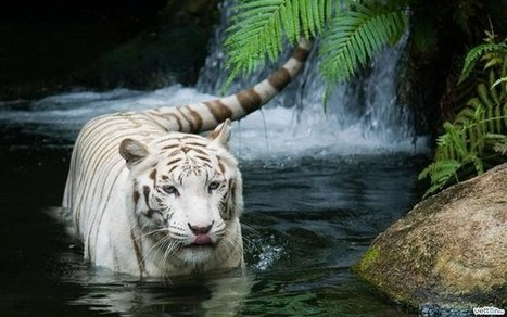 White Tiger [Pic] | Awesome Photography | Scoop.it