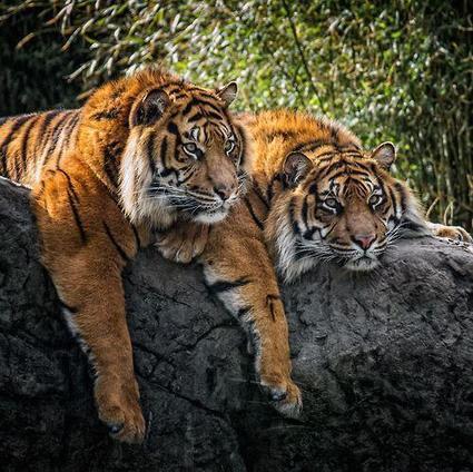 Tweet from @fabulousanimals | Tigers | Scoop.it