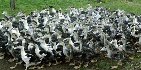 Grippe aviaire : les foyers se multiplient dans le Sud-Ouest | SANTE | Scoop.it