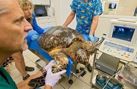 Un hôpital de Floride tente de faire face à un nombre croissant de tortues marines souffrant de tumeurs | Biodiversité | Scoop.it