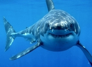 Great White Shark Facts | Shark Facts! | About great white sharks | Scoop.it