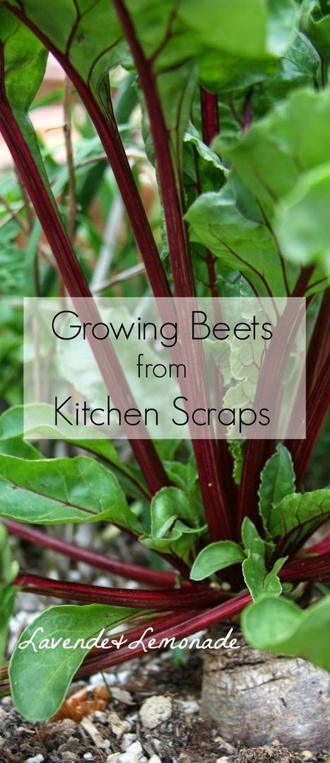 Lavende and Lemonade: Growing Beets from Kitchen Scraps | Gardening with Lavende & Lemonade | Scoop.it