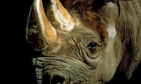Black Rhino   Species   WWF   Black Rhino   Scoop.it