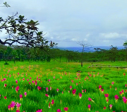 Sightseeing the Beautiful of Siam Tulip Flowers at Sai Thong National Park | Beautiful Landscapes in Thailand | Scoop.it