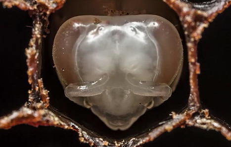 VIDEO: Time-Lapse of a Bee's Birth, From Egg to Adult, in 60 Seconds | De Natura Rerum | Scoop.it