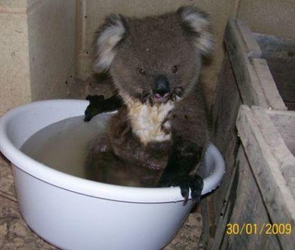 Koala Bear Seeks Water in Australia Heat bearsandbuds teddy bear magazine | Authors, Books, and So Much More! | Scoop.it