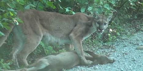 Cougar Drags Deer Near Powell River (VIDEO) - Huffington Post Canada | Wildlife In The United States and Canada | Scoop.it