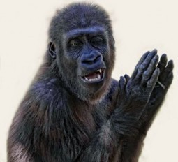 Is it true that gorillas call their offspring clapping? | onlinepetanswers | Scoop.it