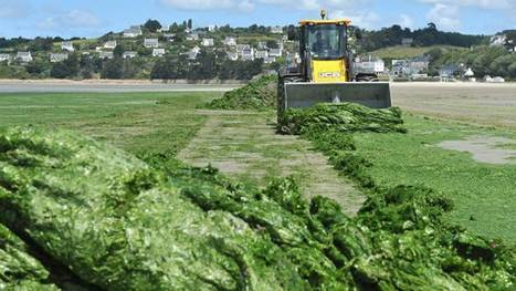 Algues vertes en Bretagne : des vérités qui dérangent   Toxique, soyons vigilant !   Scoop.it