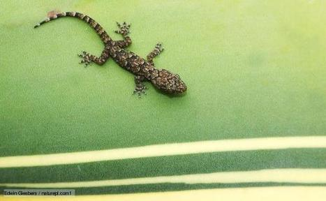 "South American Gecko found to be ""unsinkable"" and able to walk comfortably on water due to hydrophobicity of skin 