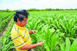South Texas sugarcane aphid moving to other crops   Rio Grande Valley-Bajo Bravo   Scoop.it