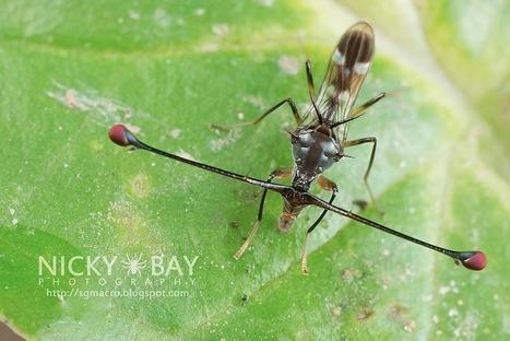 Les mouches Diopsidae : des yeux loin perchés ! | EntomoNews | Scoop.it
