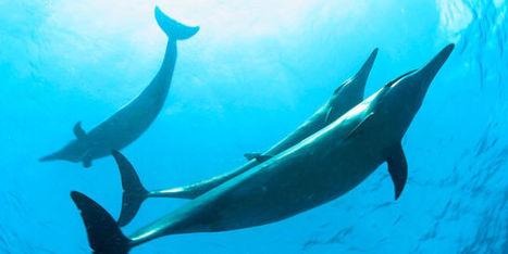 Les grands animaux marins menacés d'extinction par l'homme | Biodiversité & Relations Homme - Nature - Environnement : Un Scoop.it du Muséum de Toulouse | Scoop.it