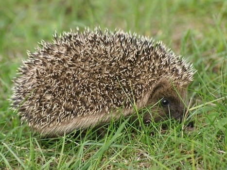 Photo gratuite de mammifère : Hérisson commun - Hérisson d'Europe - Erinaceus europaeus - European hedgehog | Fauna Free Pics - Public Domain - Photos gratuites d'animaux | Scoop.it