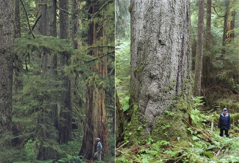 Geos Institute - Phase Out of Tongass Old-Growth Logging Can Begin Immediately | GarryRogers NatCon News | Scoop.it
